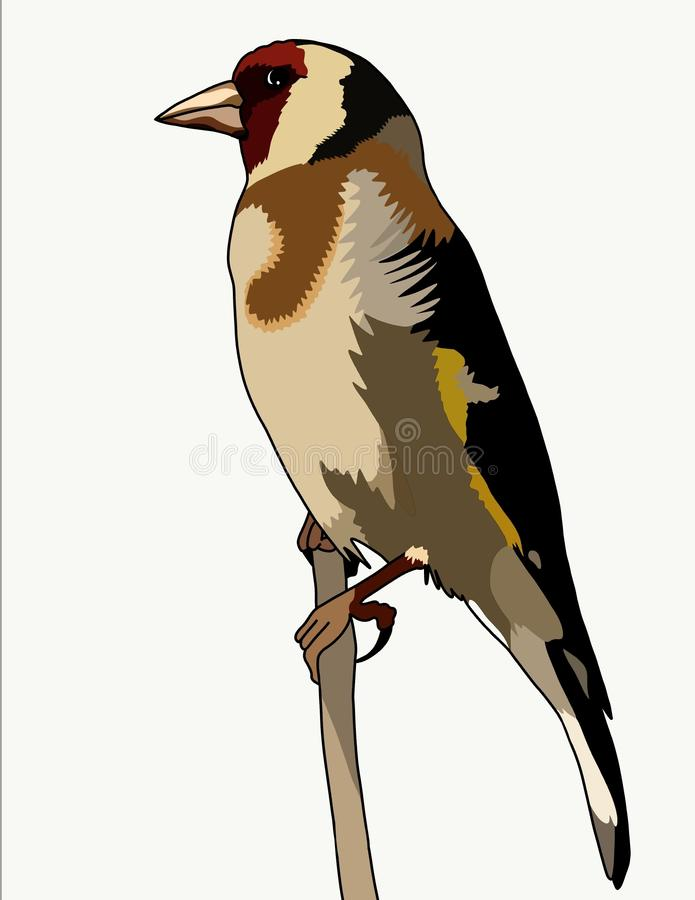 Carduelis carduelis. Adult birds are painted very brightly, obviously, because of such elegant appearance and got the name & x28;a dapper - a goldfinch& x29;. A stock illustration