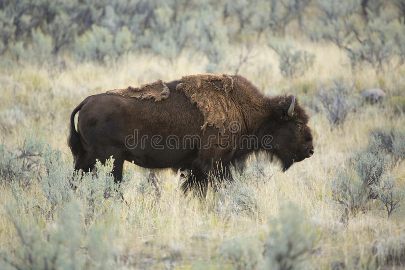 Adult bison stands among sagebrush in Yellowstone National Park, Wyoming. stock photo