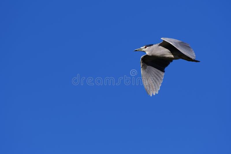 Adult Black-crowned Night Heron stock image
