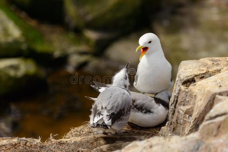 Adult black-legged kittiwake Rissa tridactyla and chicks. stock photography