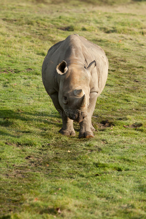 Adult Black Rhino. Photo of a Black Rhino walking in sunshine stock photo