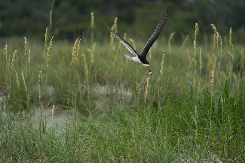 A Black Skimmers flying over sea oats and the beach. An adult black Skimmers flies over Wrightsville Beach in Wilmington, North Carolina, during the summer royalty free stock photography