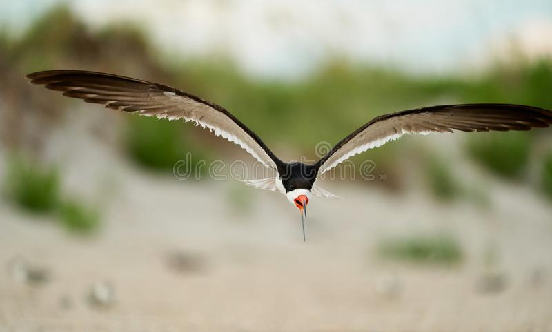 A Black Skimmers flying over the beach. An adult black Skimmers flies over Wrightsville Beach in Wilmington, North Carolina, during the summer breeding season royalty free stock photo