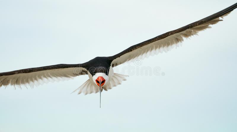 A Black Skimmers flying over the beach. An adult black Skimmers flies over Wrightsville Beach in Wilmington, North Carolina, during the summer breeding season stock photo