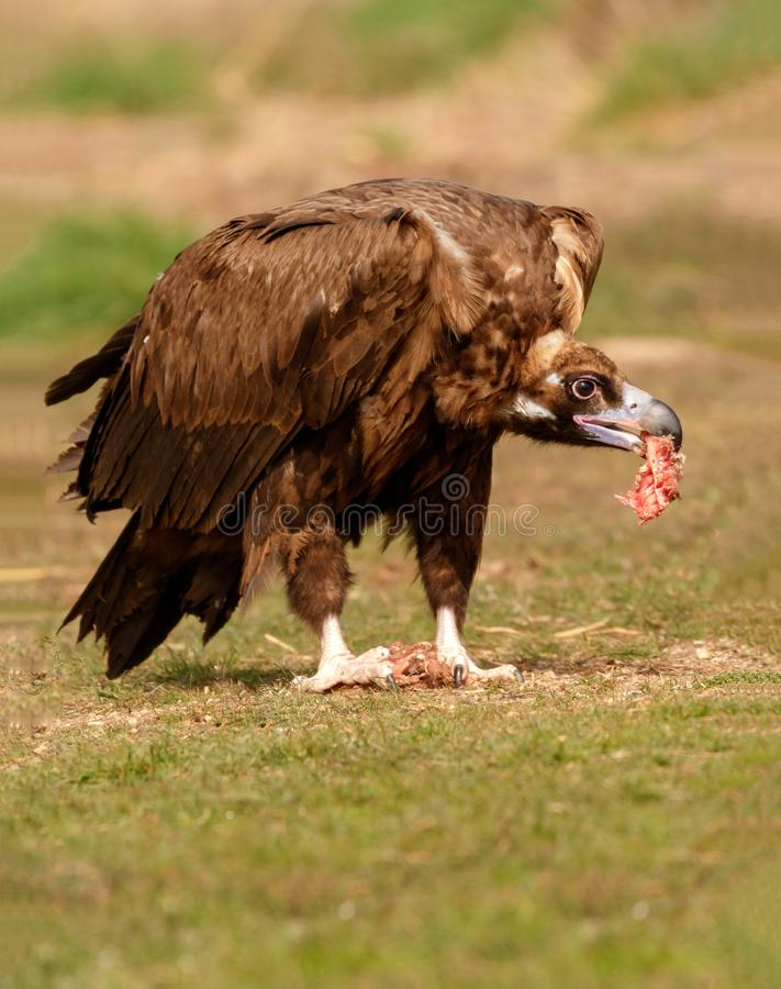 Free Adult Black Vulture Eating In The Nature Stock Photo - 102864140
