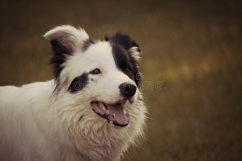 Adult Black and White Border Collie royalty free stock image