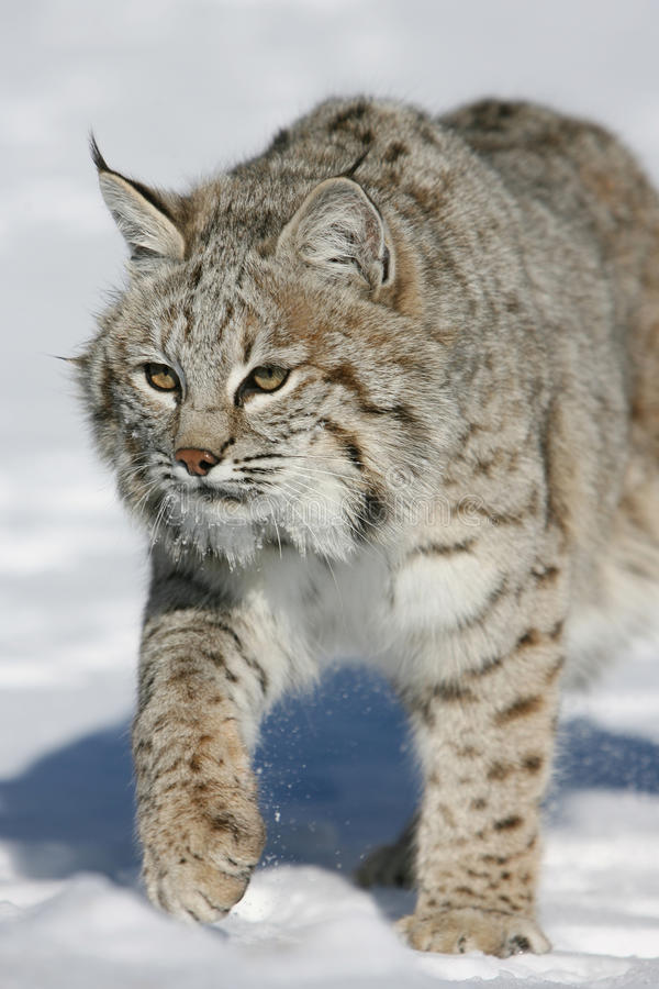Download Adult Bobcat stock image. Image of outdoors, ears, nature - 10506277