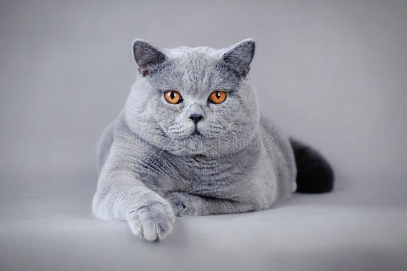 Adult British Shorthair Cat Stock Image