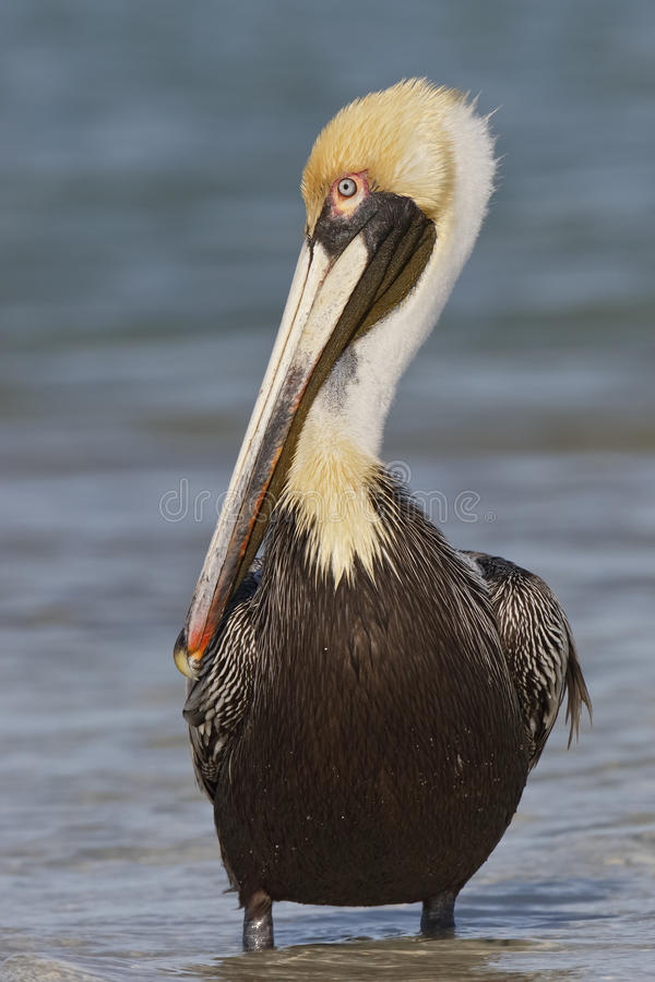Adult Brown Pelican in Breeding Plumage royalty free stock images