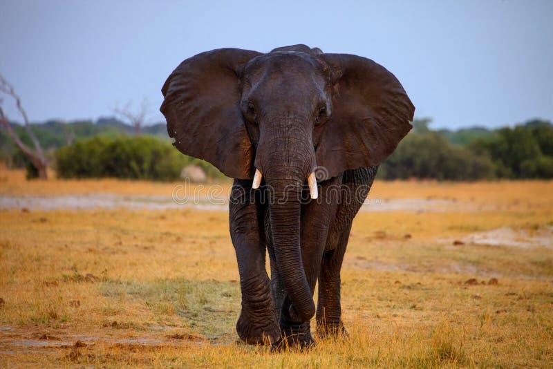 Adult bull elephant Loxodonta africana stock photo