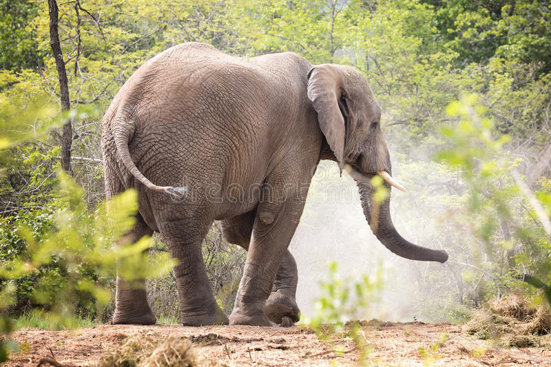 Adult bull elephant side view. stock images