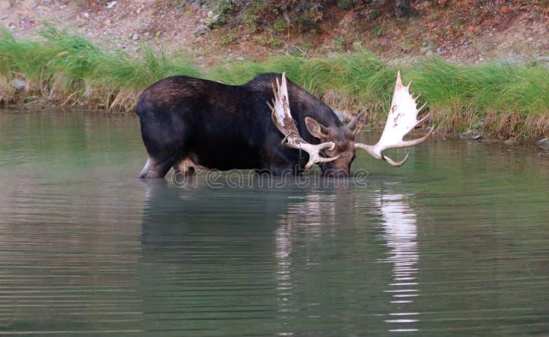 Adult Bull Moose in Fishercap Lake in the Many Glacier region of Glacier National Park in Montana ISA. Adult Bull Moose in Fishercap Lake in the Many Glacier stock photos