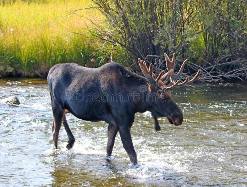 Adult Bull moose with shedding velvet antlers crossing creek in Wyoming United States. Adult Bull moose with shedding velvet antlers crossing the Fish Creek stock images