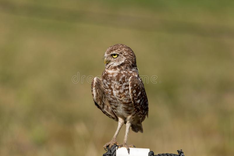 Adult Burrowing owl Athene cunicularia perched outside its burrow. On Marco Island, Florida royalty free stock photo