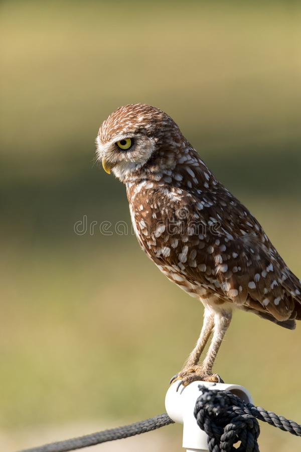 Adult Burrowing owl Athene cunicularia perched outside its burrow. On Marco Island, Florida royalty free stock image