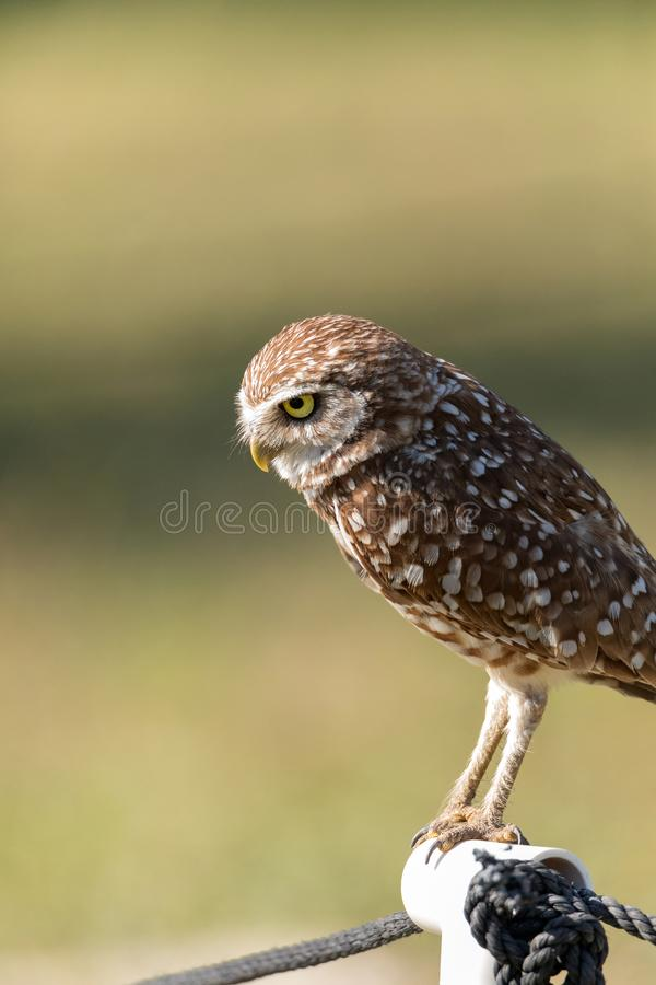 Adult Burrowing owl Athene cunicularia perched outside its burrow. On Marco Island, Florida royalty free stock photography