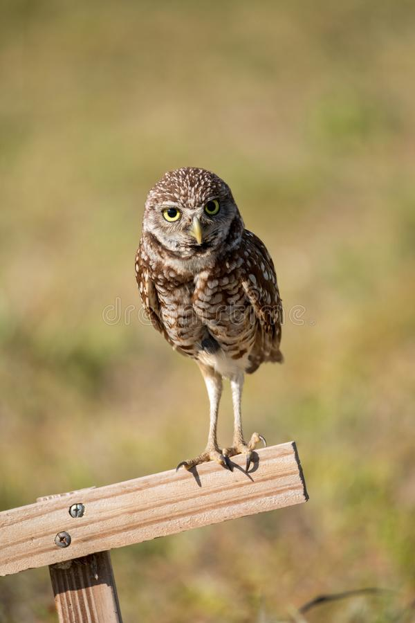 Adult Burrowing owl Athene cunicularia perched outside its burrow. On Marco Island, Florida royalty free stock photos
