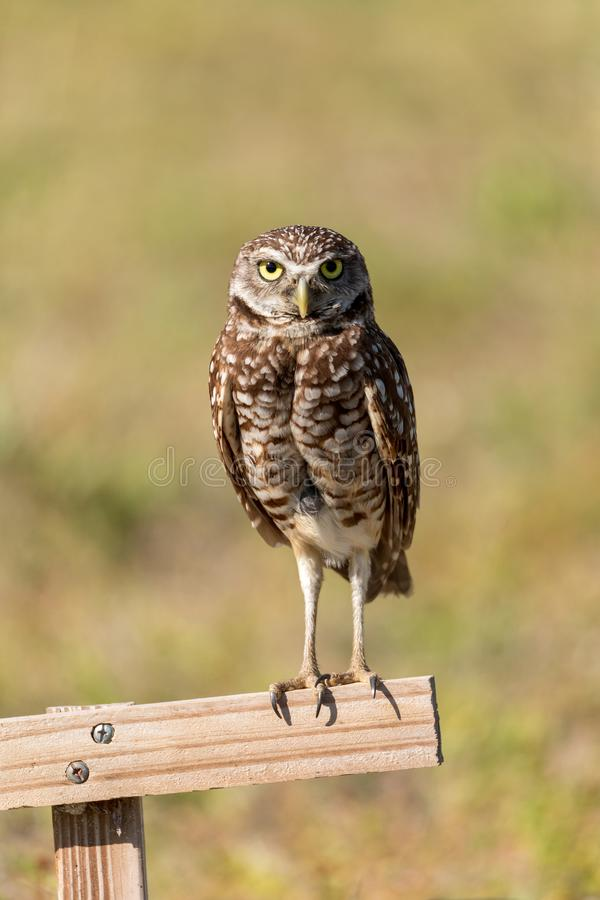 Adult Burrowing owl Athene cunicularia perched outside its burrow. On Marco Island, Florida royalty free stock images