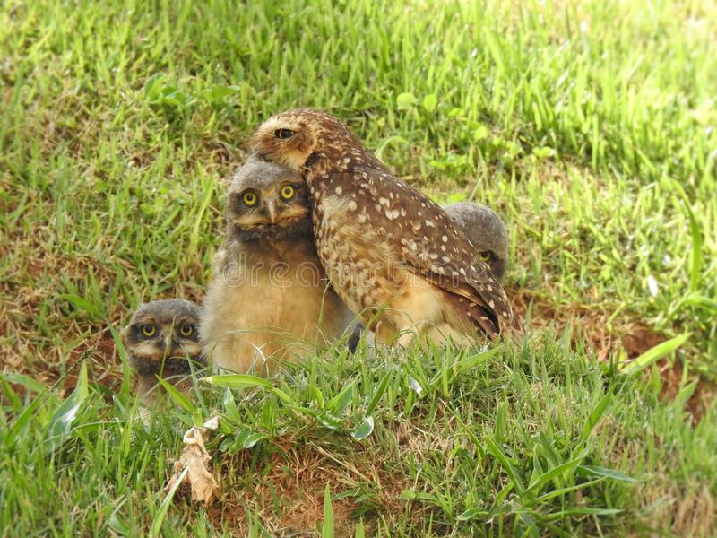 An adult burrowing owl with its three adorable cubs on a lawn. royalty free stock photo
