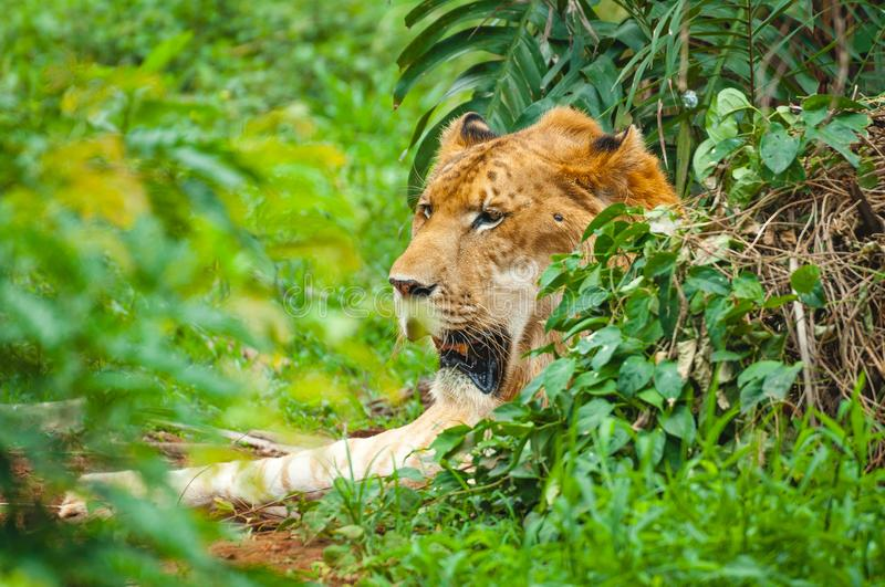Adult calm lioness lies in dense green thickets stock images