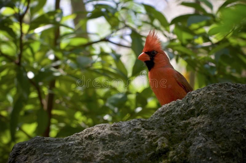 Red Cardinal bird perched on a rock in the jungle. Red Cardinal bird perched on a rock in the middle of a jungle, looking straight into the lense royalty free stock photography