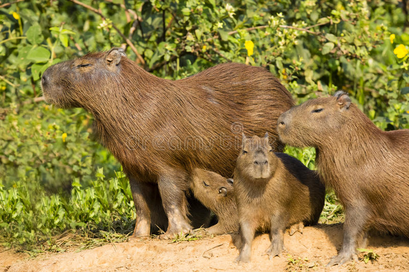 Adult Capybara and Various Aged Juveniles. A group of capybaras near the green bushes: adult female looking off in the distance; a baby nursing; two different stock photos