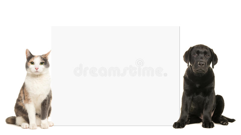Adult cat and black labrador puppy dog sitting beside a white empty board with space for text stock photos