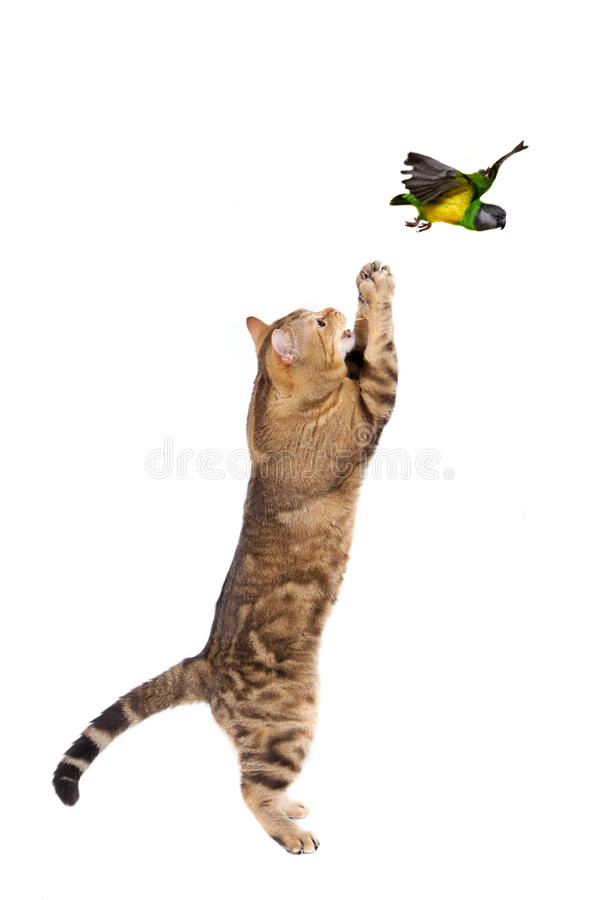 Free Adult Cat Catching Bird Royalty Free Stock Images - 27199819