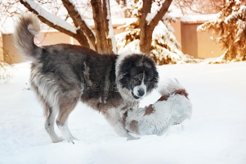 Adult Caucasian Shepherd dog and puppy in winter time. Fluffy Caucasian shepherd dog and puppy stock photos