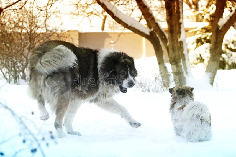 Adult Caucasian Shepherd dog and puppy in winter time. Fluffy Caucasian shepherd dog and puppy royalty free stock photos