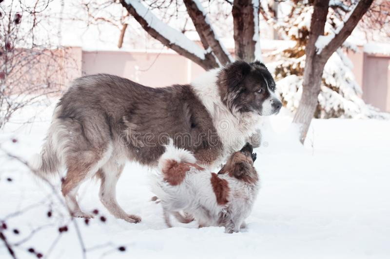 Adult Caucasian Shepherd dog and puppy in winter time. Fluffy Caucasian shepherd dog and puppy stock photo