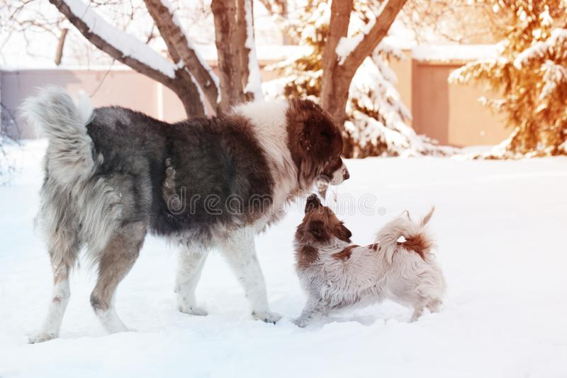 Adult Caucasian Shepherd dog and puppy in winter time. Fluffy Caucasian shepherd dog and puppy stock image