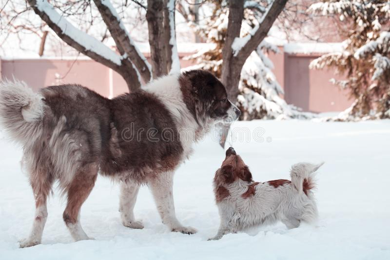 Adult Caucasian Shepherd dog and puppy in winter time. Fluffy Caucasian shepherd dog and puppy royalty free stock image