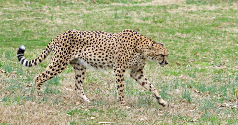 Adult Cheetah laying in the Valley. Adult Cheetah relaxing in the valley royalty free stock images