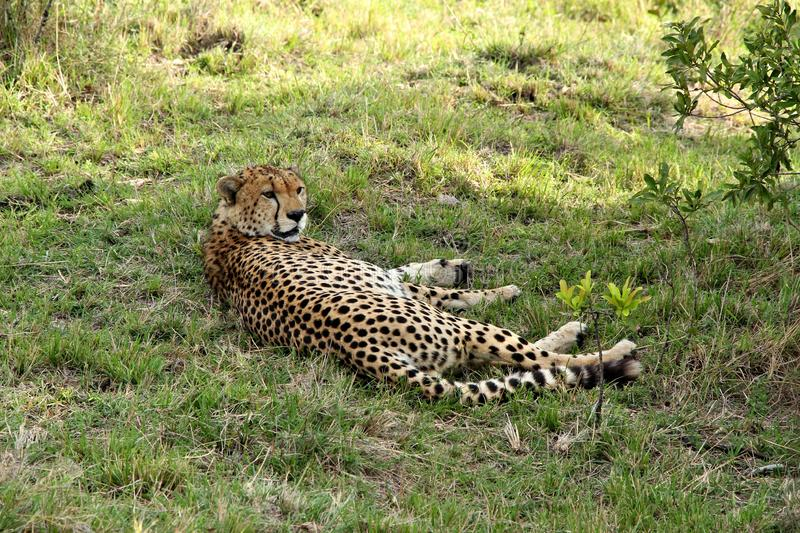 Adult cheetah resting in grass in Africa. Adult cheetah resting in grass in Maasai Mara national reserve in Kenya, Africa royalty free stock photography