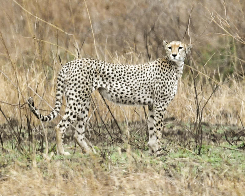 Adult Cheetah standing with head turned in grass. Sideview of an adult Cheetah standing with head turned in grass in the Serengeti National Park, Tanzania royalty free stock images
