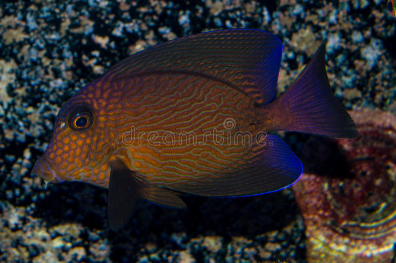 Adult Chevron Tang. The Chevron Tang, also known as the Hawaiian Bristletooth, Hawaiian Surgeonfish, or Black Surgeonfish, has an oval body shape with radiating stock photo