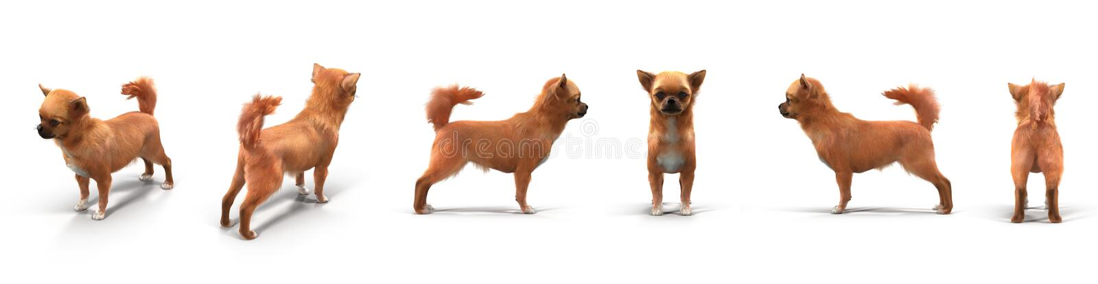 Adult chihuahua renders set from different angles on a white. 3D illustration. Adult chihuahua renders set from different angles on a white background. 3D vector illustration