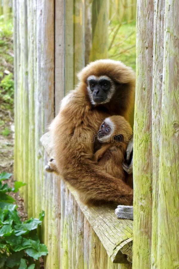 Adult and Child Lar Gibbon stock photography
