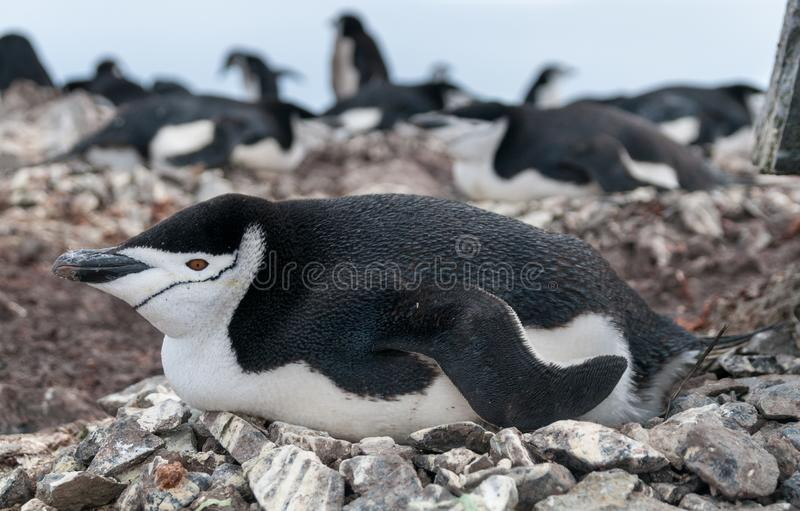Adult Chinstrap Penguin lying on nest, Halfmoon Island, Antarctic Peninsula royalty free stock photos