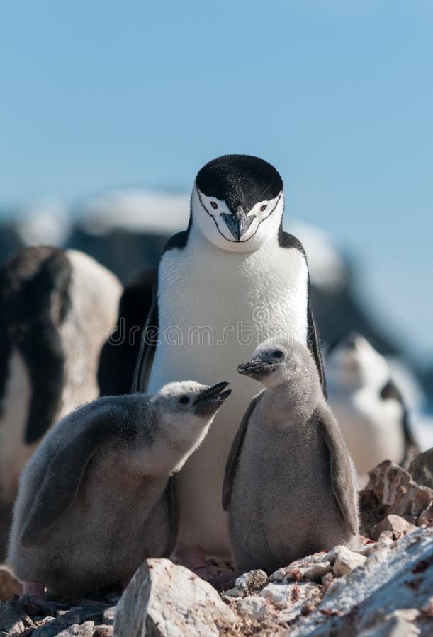 Adult Chinstrap Penguin with two chicks, Antarctic Peninsula stock photos