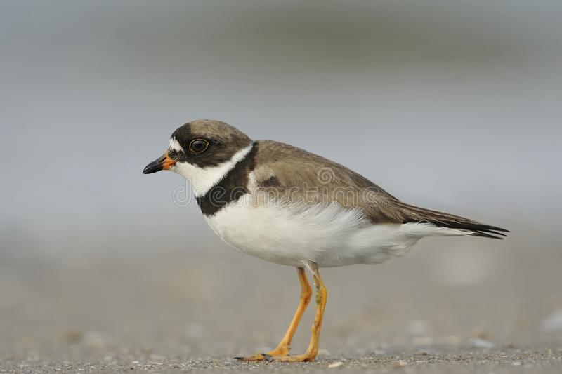 Adult Common Ringed Plover. A Common Ringed Plover is posing on the beach royalty free stock photography