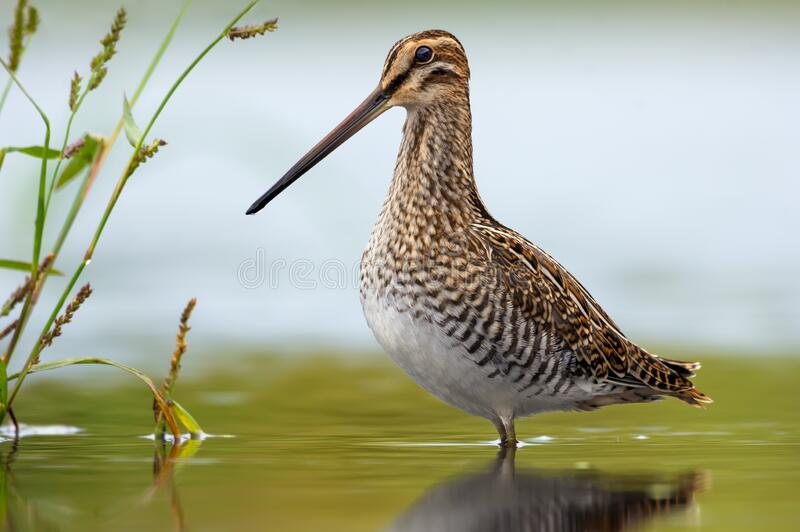 Adult Common snipe great full height posing in shallow water of small pond. Adult Common snipe great full height standing in shallow water of small pond stock image