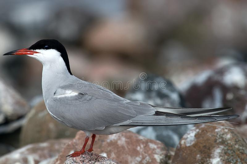 Adult common tern. (Sterna hirundo), life-size portrait in nesting colony royalty free stock images