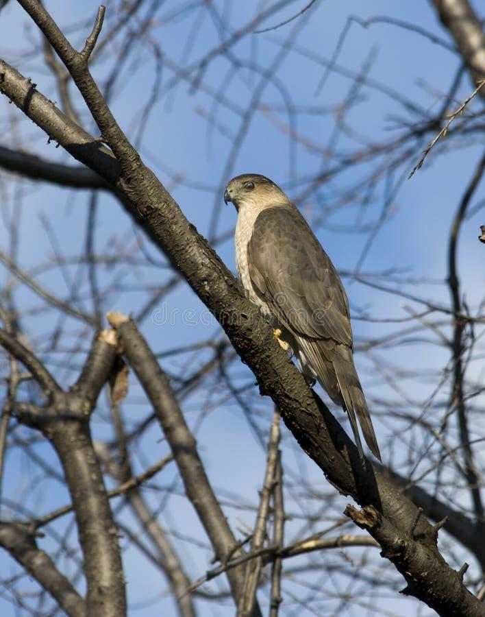Download Adult Cooper's Hawk stock photo. Image of trees, raptor - 9012360