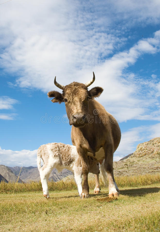 Download An adult cow and calf stock image. Image of horns, curiosity - 14808979