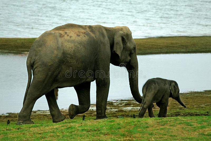 Are not Elephant adults only have