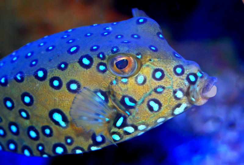 Adult cube trunk fish on coral reef stock photo