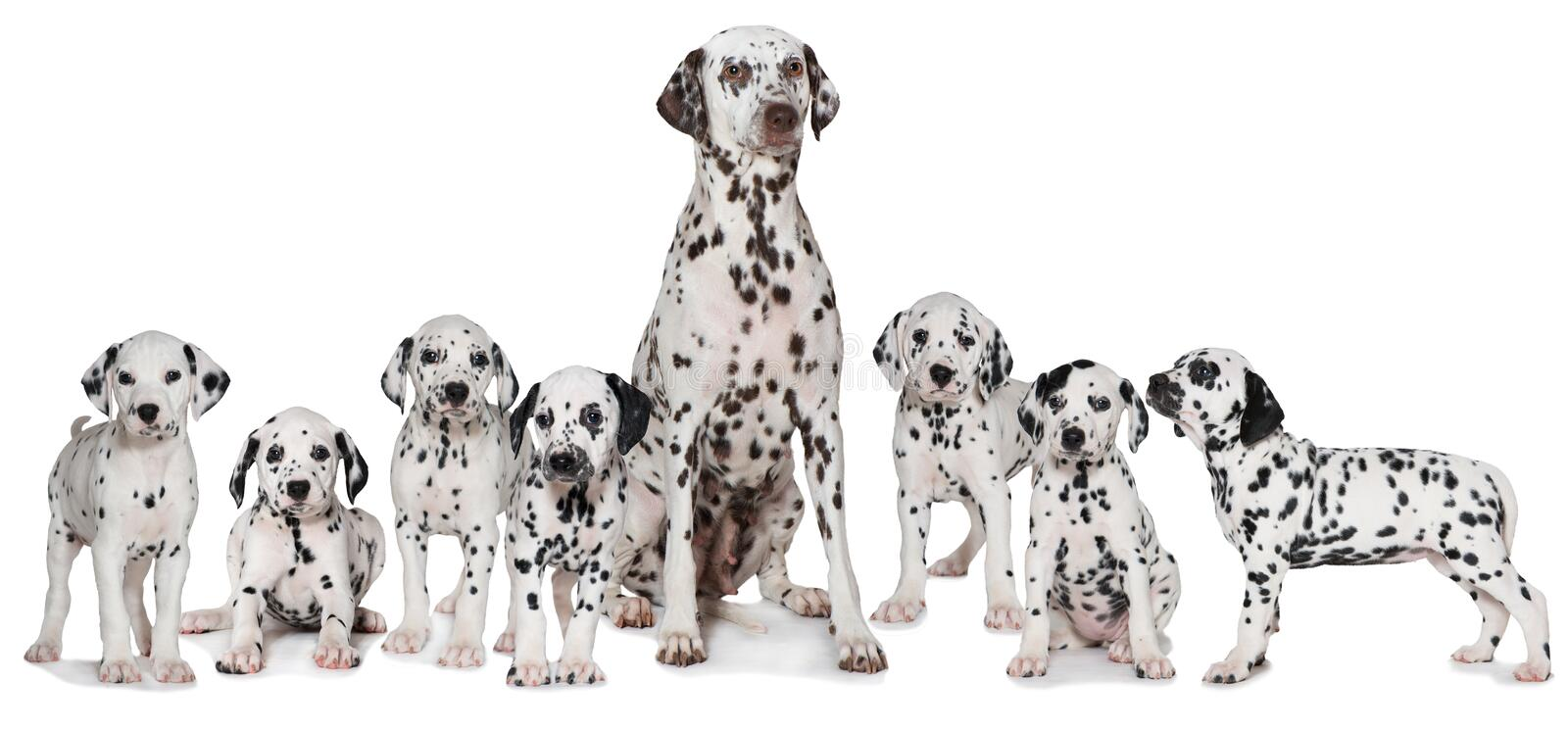 Adult dalmatian dog with puppies. Adult dalmatian dog with many puppies isolated on white background royalty free stock photography