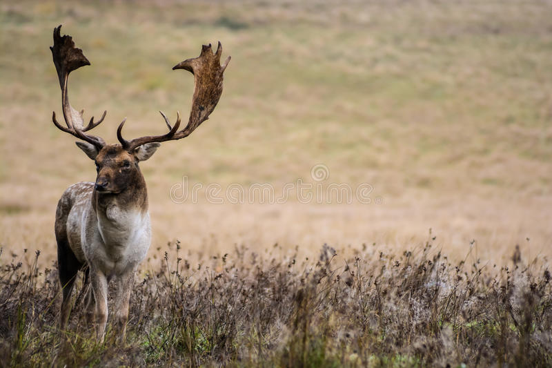 Adult Deer. An old buck deer photographed at Petworth Park during a cold October morning stock images